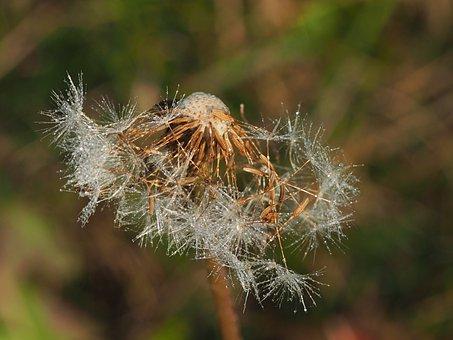 Dewy, Dandelion, Faded, Faded Dandelion, Dandelions
