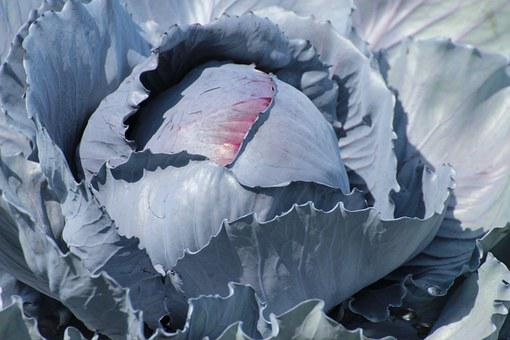 Kohl, Red Cabbage, Blue Cabbage, Cabbage