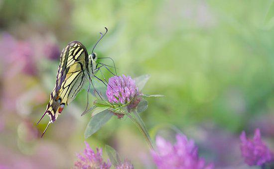 Dovetail, Butterfly, Nature, Close, Insect, Macro
