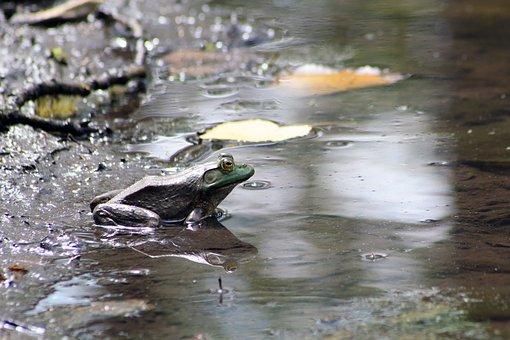 Frog, Toad, Marsh, Marsh Frog, Environment, Mud, Park