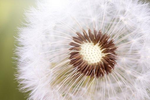 Summer, Nature, Fluff, Plant, Faded Dandelion