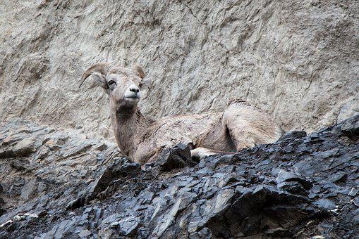 Mountain Goat, Cliff, Horn, Goat, Nature, Mountain