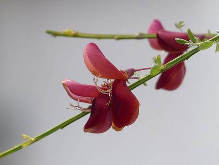 Cytisus Scoparius, Blossom, Bloom, Red, Macro, Close Up