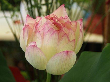 Lotus, Taipei, The Flower Market, Compound Flap