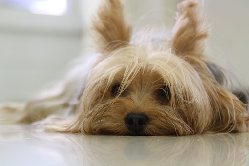 Yorkshire Terrier, Dog, Yorkie, Terrier, Pet, Canine