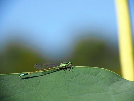 Damselfly, Green Leaves, Little Dragonfly, Green