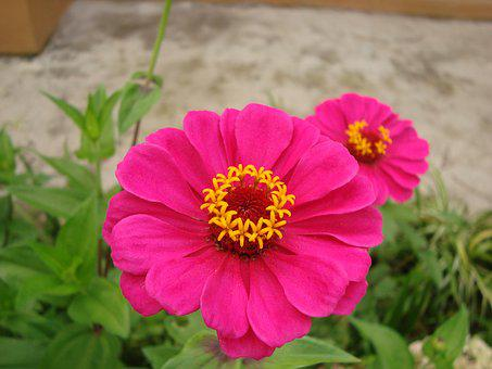 Zinnia, Flower, Flowers, Flowery, Small Flower, Orchid