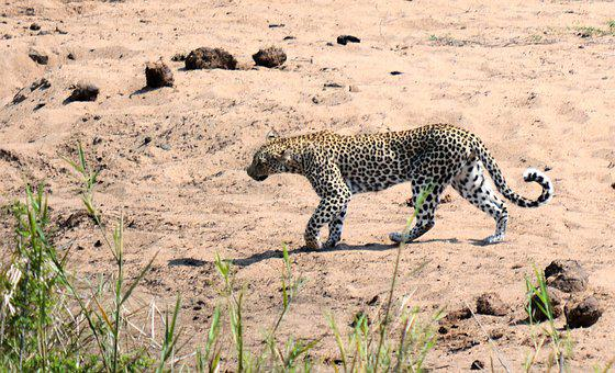 Leopard, Kruger Park South Africa, Wildlife, Nature