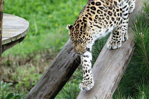 Leopard, Big Cat, Spots, Nature, Animal, Natural