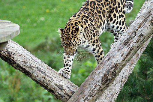 Leopard, Big Cat, Spots, Nature, Animal, Natural