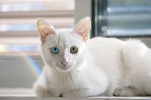 Cat, Cute, White Cat, Persian Cat, The Difference Is