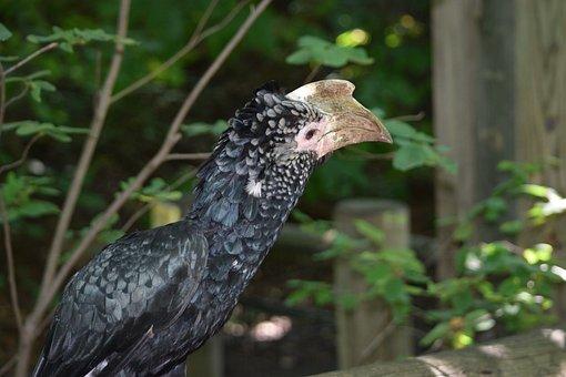 Silvery-cheeked Hornbill, Bird, Zoo, Nature