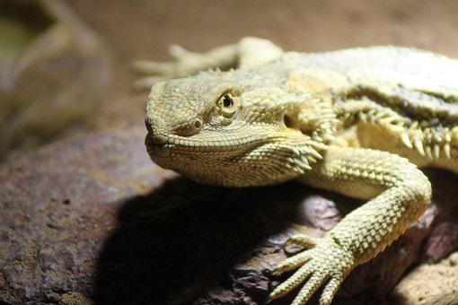 Pogona Vitticeps, Pogona, Bearded, Dragon