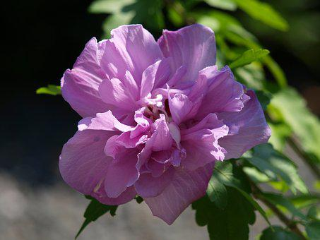 Hibiscus, Blossom, Bloom, Close, Plant, Mallow, Purple