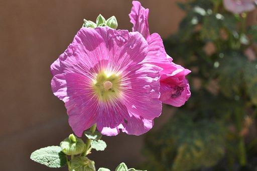 Mallow, Flower, Blossom, Bloom, Nature, Light Purple