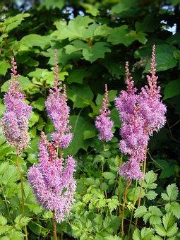 Astilbe, Flowers, Pink, False Goats Beard, False Spirea