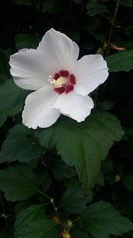 Hollyhock, Mallow, Flower, Nature, Garden Mallow