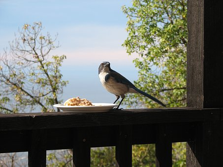 Bird, Porch, Fence, Oatmeal, Jay, Blue Jay, House