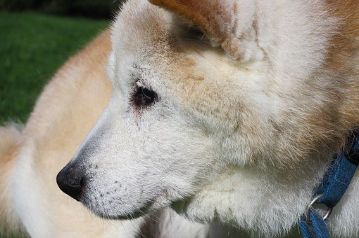 Old Dog, Dog, Shiba Inu, Purebred Dog, Pet, Old, Animal