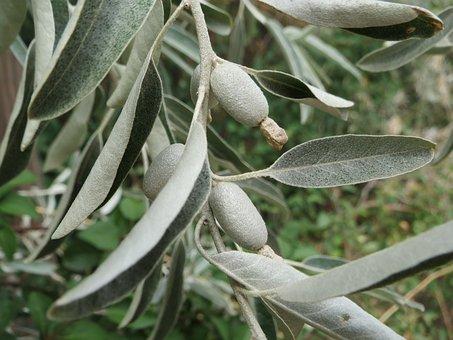 Elaeagnus Angustifolia, Silver Berry, Oleaster