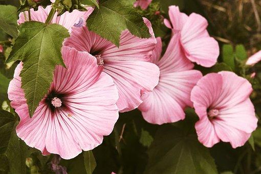 Mallow, Flowers, Pink, Pink Mallow, Garden, Pink Flower