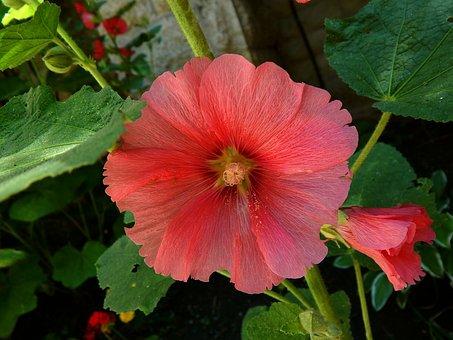Mallow, Flower, Pink