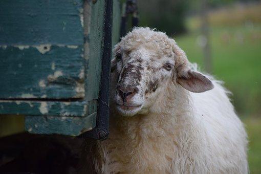 Sheep, White, Livestock, Animal, Wool, Nature
