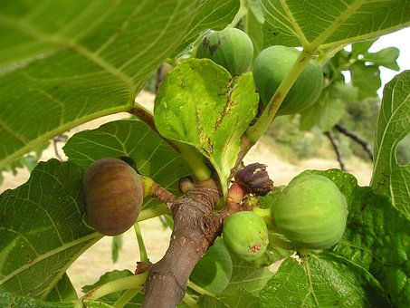 Fig, Ficus, Ficus Carica, Euro Dynasty, Fruit, Sweet
