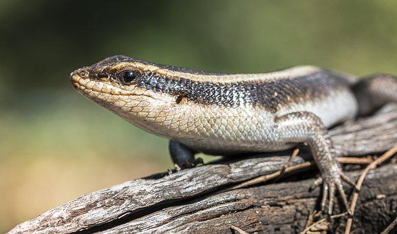 Animal, Cold Blooded, Lizard, Nature, Cold, Wildlife