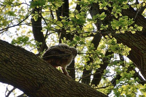 Eagle Owl, Young Bird, Nest, Duvenstedter Brook