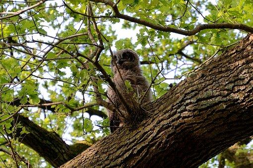 Eagle Owl, Young Bird, Nest, Bird