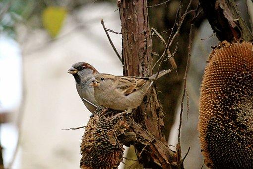 Fodder Tree, Bird, Sparrow, Autumn, Garden, Foraging