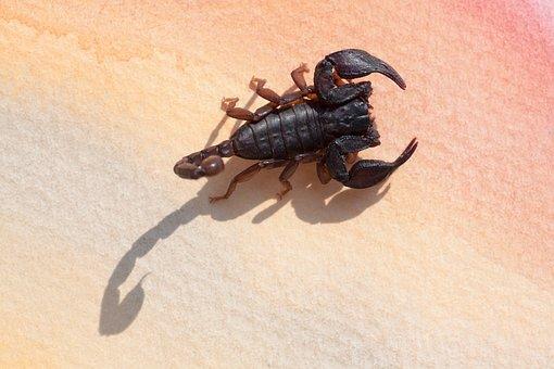 Scorpio, Androctonus Crassicauda, Gripper, Sting