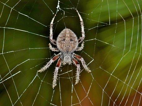 Spider, Orb Spider, Orb Weaver, Web, Webbed, Trap
