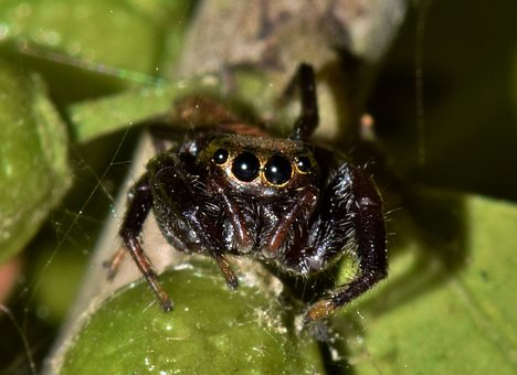 Spider, Jumping Spider, Arachnid, Predator, Eyes, Web