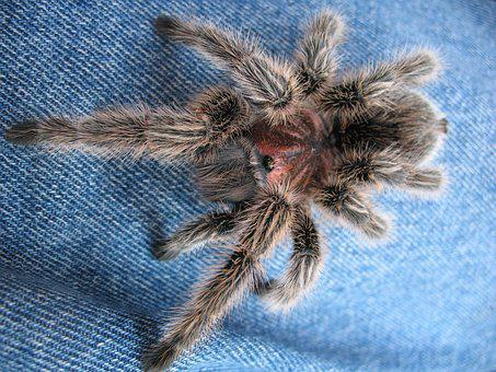 Arthropods, Spider, Tarantula, Scary, Arachnid, Hairy