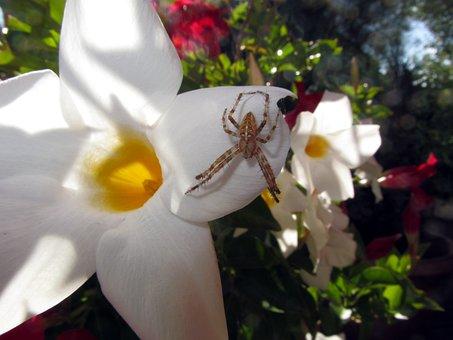 White Trumpet Flower, Blossom, Bloom, Spider, Close