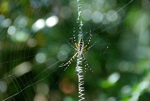 Garden Spider, Yellow, Black, Color, Garden, Web