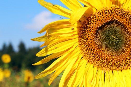 Sunflower, Sunflower Field, Yellow, Summer, Flowers