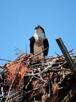 Hawk, Nest, Nature, Bird, Wildlife, Raptor, Beak