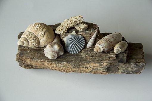 Seashells, Shell, Conch, Spiral, Clam, Scallop