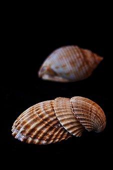 Sea, Shells, Clams, Molluscum, Conch, Shell