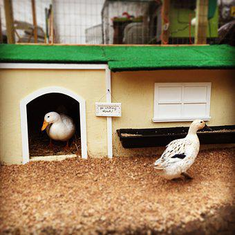Ducks, Pekin, Welsh Harlequin, Duck House