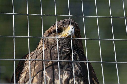 Bird Of Prey, Mautern, Styria, Wild Mountain, Grid