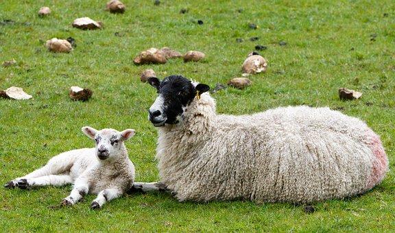 Sheep, Lamb, Ewe, Wool, Fleece Woolly, Agriculture