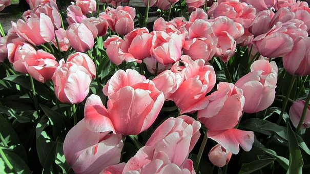 Tulip, Tulips, Bulbs, Netherlands, Bulb, Pink, Spring