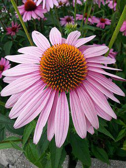 Echinacea, Purple Coneflower, Flower, Single Flower