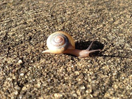 Snail, Shell, Animal, Spiral, Mollusk, Scallop