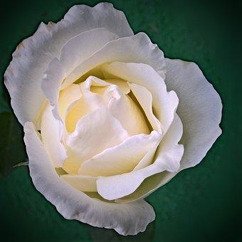 Flower, Floribunda, White, Single Bloom, Close