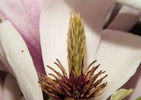 Magnolia, Magnoliaceae, Blossom, Bloom, Scion, Tree